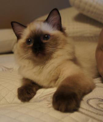 Ragdoll cat breeders victoria bc